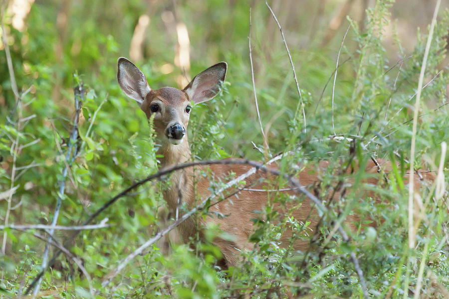 White-tailed Female Fawn Photograph by Erin Cadigan
