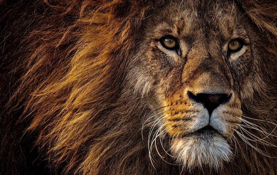 wild lion face by