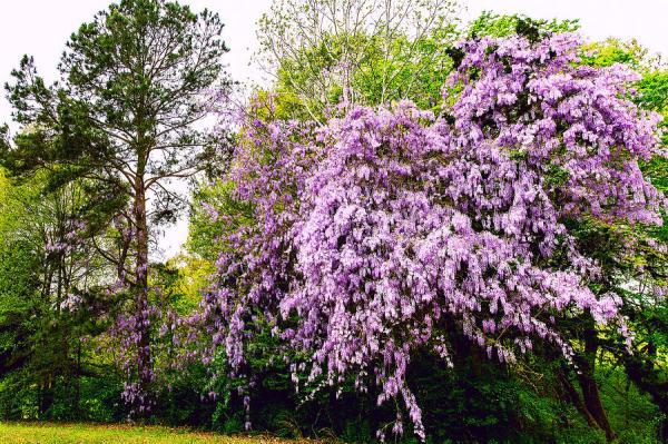 wild wisteria - floral landscape