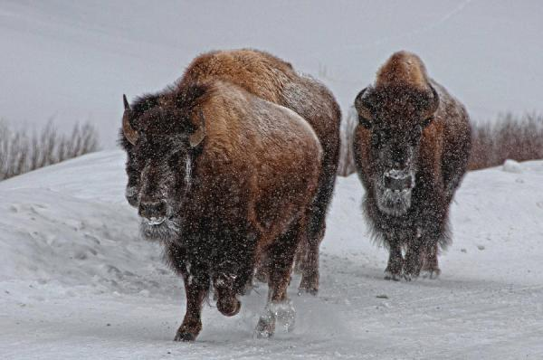 Yellowstone Bison Photograph by DBushue Photography