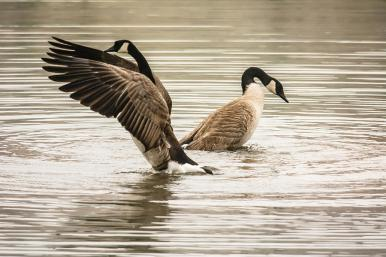 Image result for two canadian geese taking off of pond images