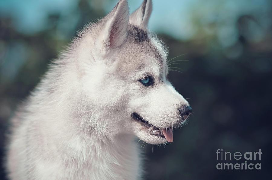 blue eyes puppy side