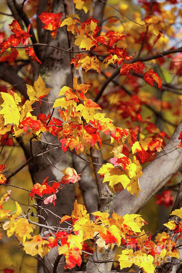 Blue Maple Tree : maple, Ridge, Parkway, Autumn, Maple, Photograph, Carmichael