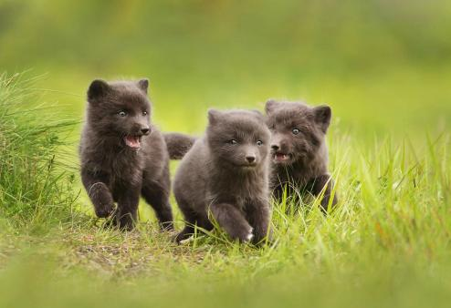 Close up of Arctic Fox cubs playing in a meadow Photograph by ...