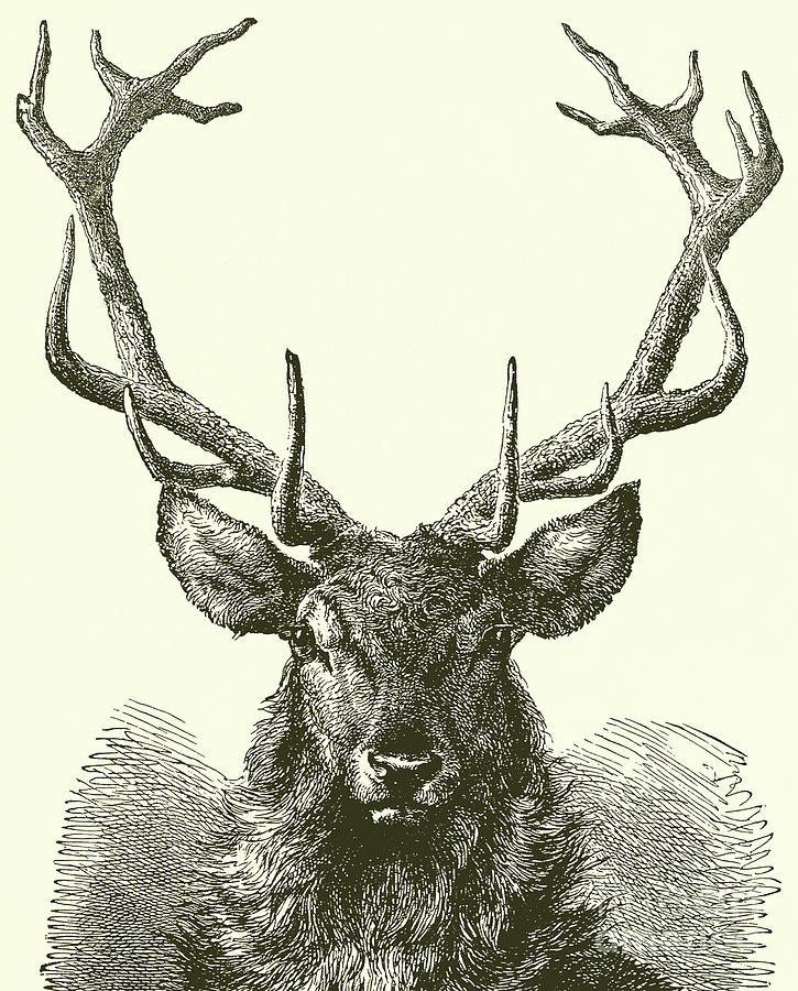 Deer Head How To Draw A Deer : Drawing, English, School