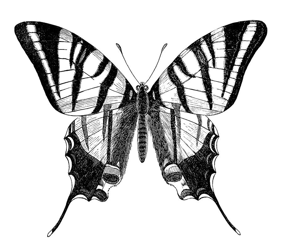 Engraving Of Butterfly Sail Swallowtail by Grafissimo