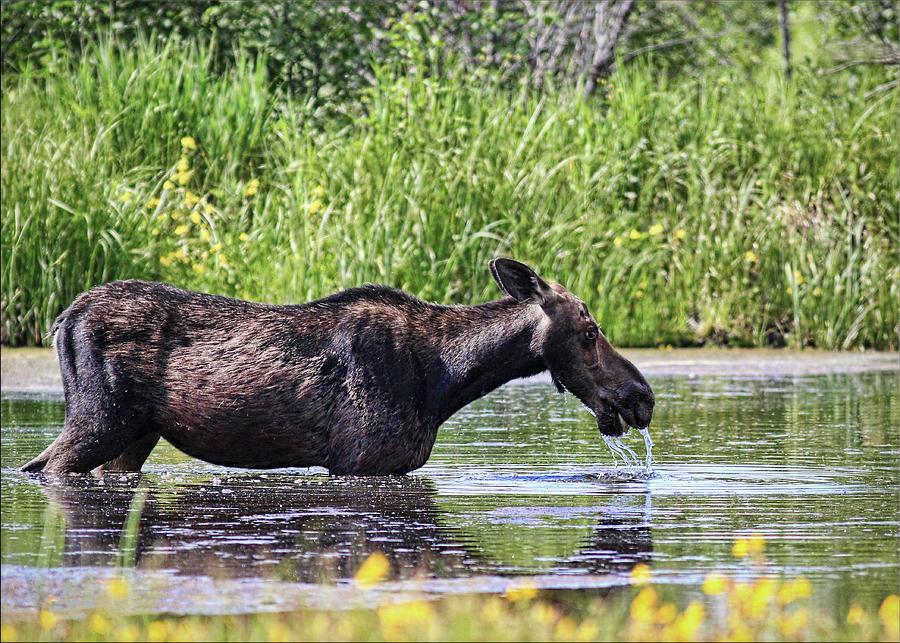 Female Moose Drinking by Photography By Glenda Borchelt