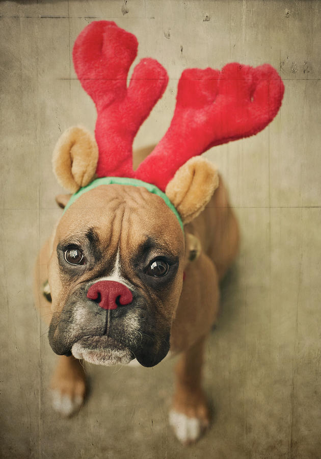 Funny Boxer Dog Pictures : funny, boxer, pictures, Funny, Boxer, Puppy, Photograph, Trappe, Photography
