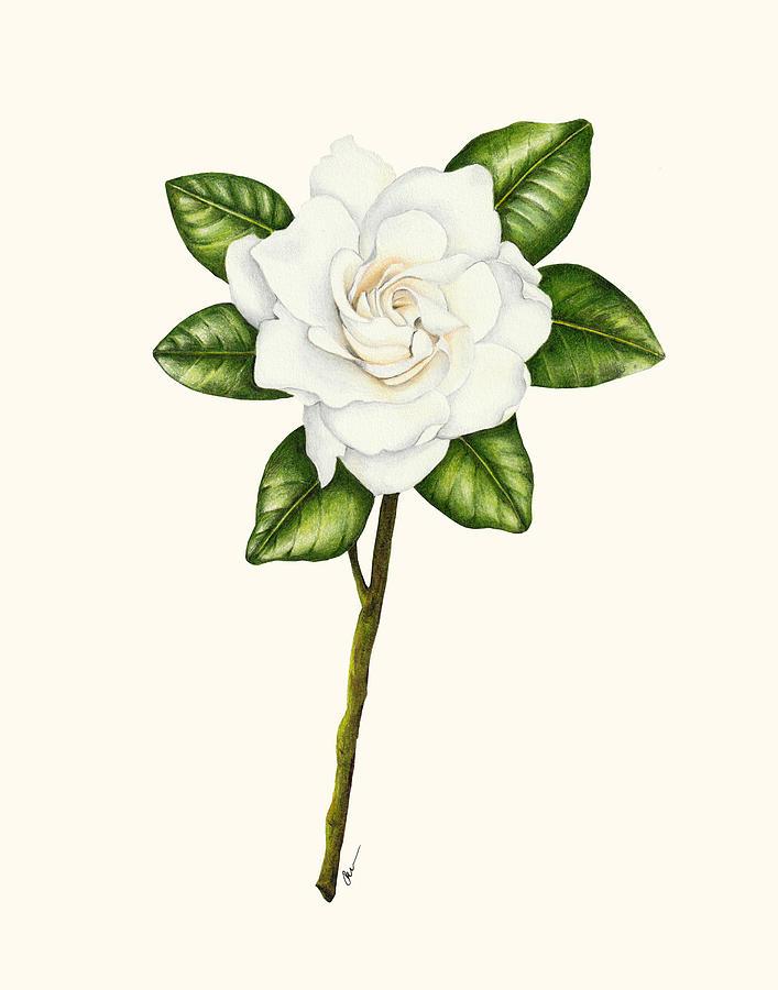 How To Draw A Gardenia : gardenia, Gardenia, Drawing, Kristie, Vargo