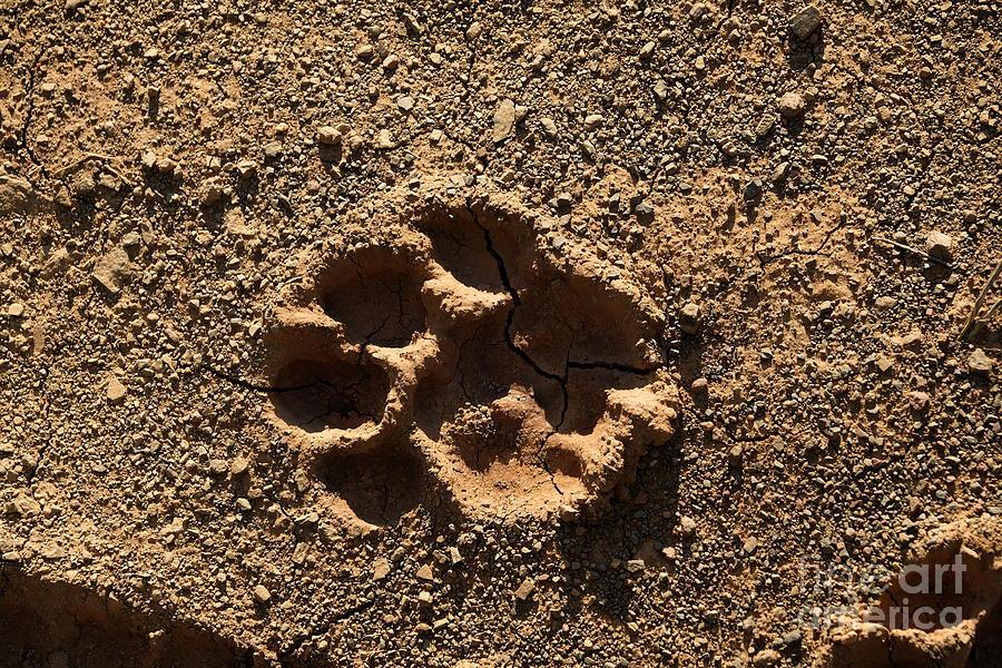 lion paw print by