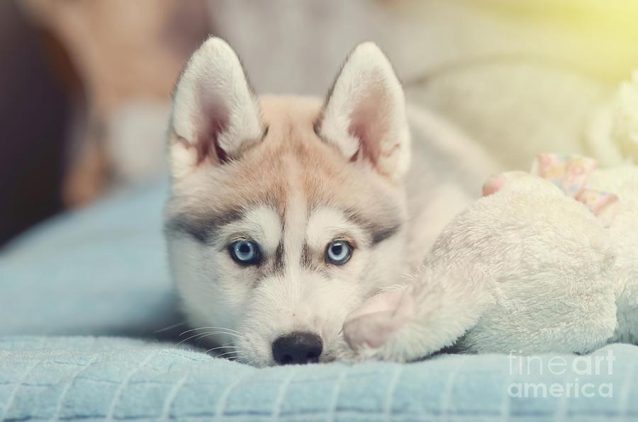 siberian husky puppy with