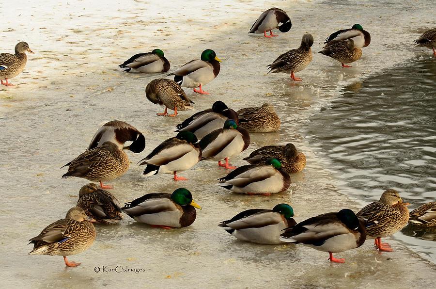 wild ducks resting on