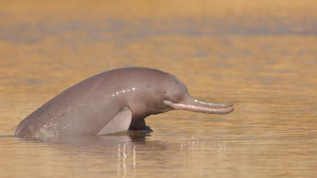 An Indus river dolphin pops it head above dirty waters. The Ganges and Indus River Dolphin species are an important indicator of the health of river ecosystems. Image credit: WWF India