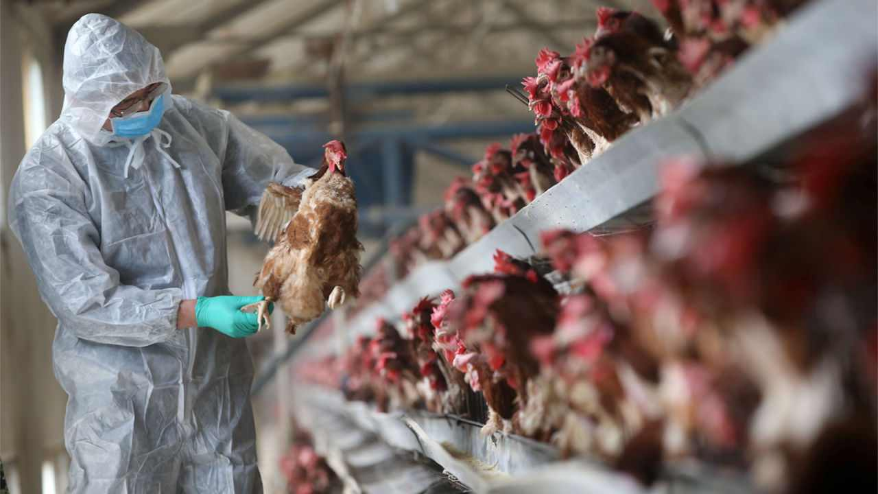 Intensive agriculture raises future pandemic risk, with animals and people in close contact: Study- Technology News, Firstpost