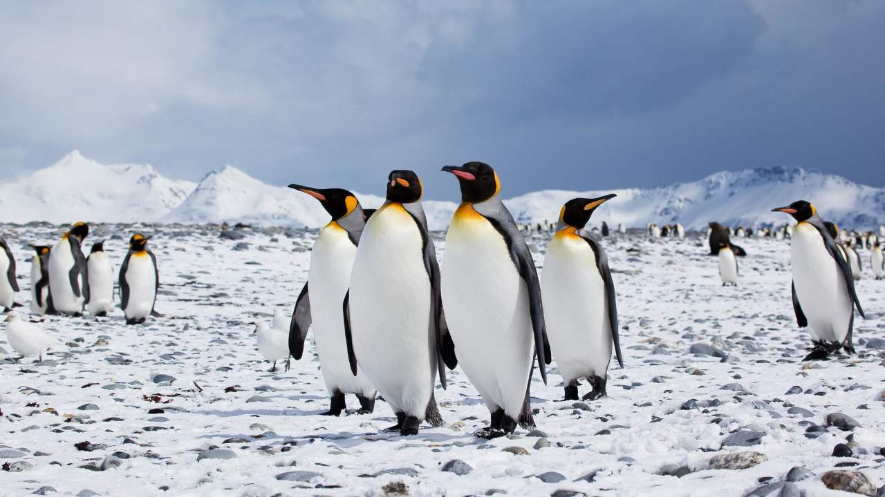 Antarctic penguins see a rise in population during years with less sea ice- Technology News, Firstpost 94