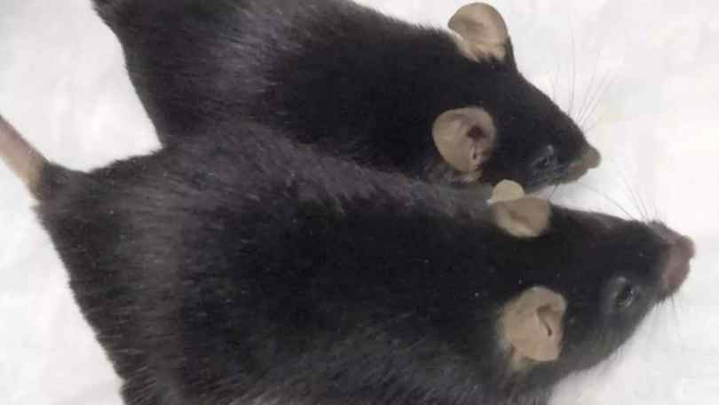 Genetically engineered mighty mice hold onto muscle during month-long stay at ISS