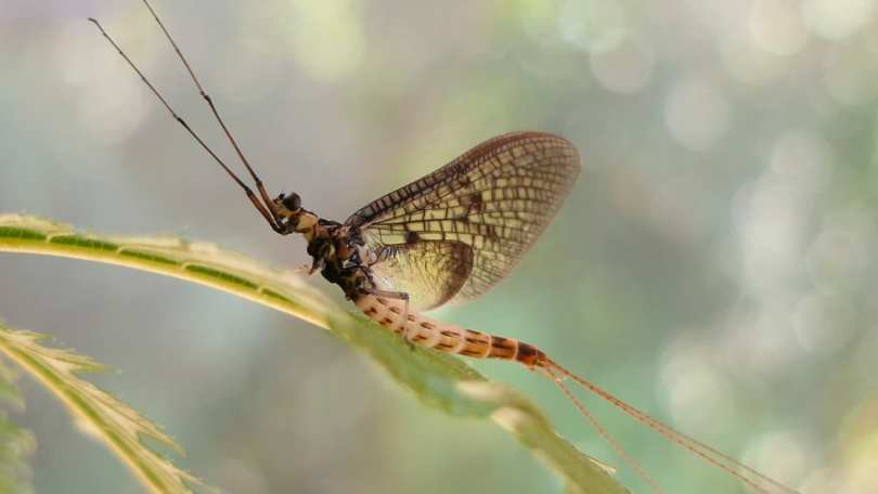 Buzz Buzz: Danish Mayfly is named the Insect of the Year for 2021