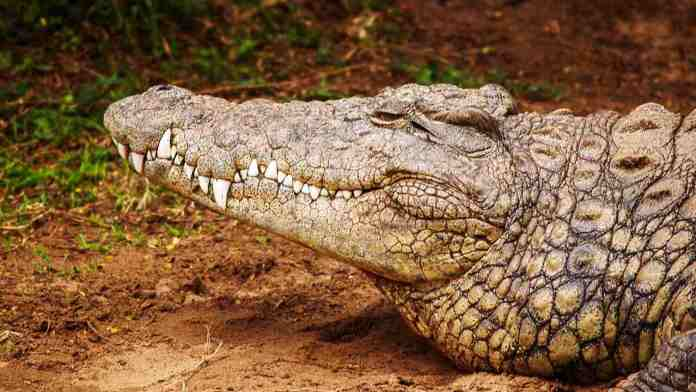 Crocodiles have remained largely unchanged since the last 200 million years