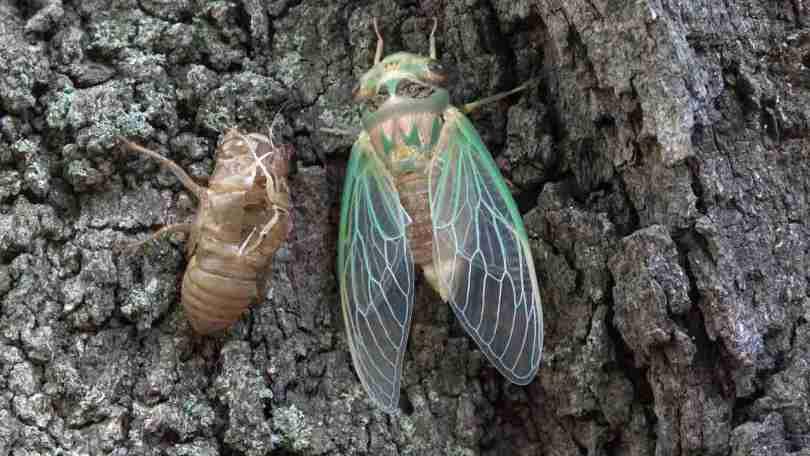 Brood X: Billions of cicadas to emerge after spending 17 years burrowed underground