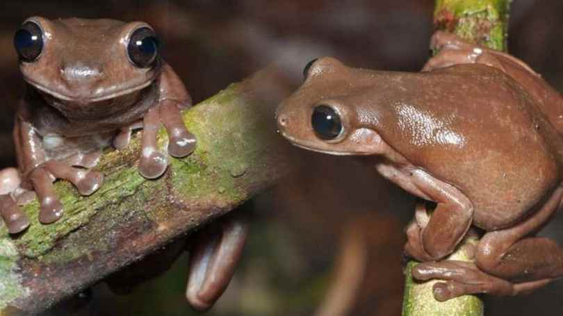 Australian scientist discovers 'Chocolate Frog'; calls it a new addition to the animal kingdom- Technology News, Gadgetclock
