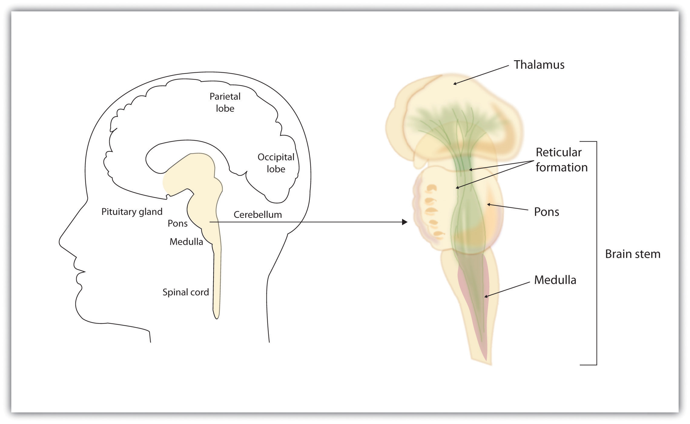 The Limbic System Worksheet