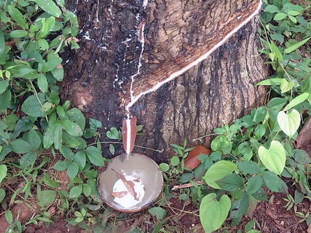 Резеңке Ficus шырыны жинағы
