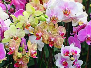 Hoa lan Faleenopsis - Chăm sóc tại nhà