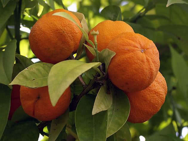 Danno e beneficio del mandarino