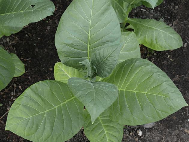 बगीचे पर धूम्रपान तंबाकू का संग्रह और भंडारण