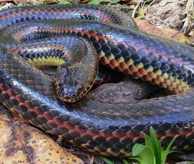 Rare Rainbow Snake Seen In Ocala Is First Sighting Of Species