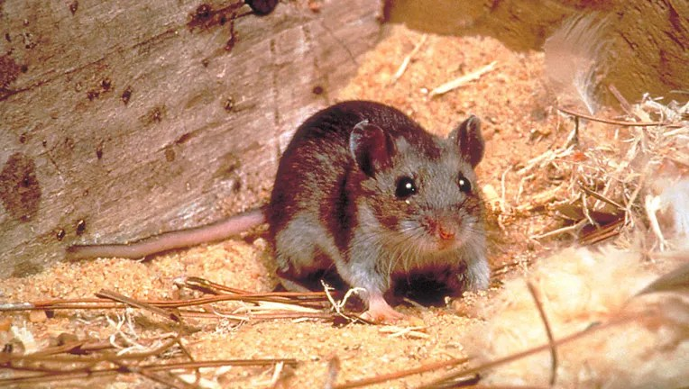 Hantavirus kills man in coronavirus-hit China, state-run press ...