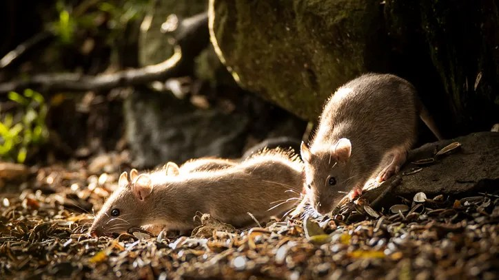 Rats La Ranked Number 2 Among The Nation S Most Rodent