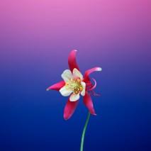 flower_aquilegia