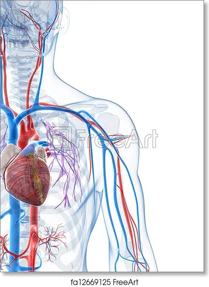human vascular anatomy diagram map sensor free art print of system 3d rendered illustration the