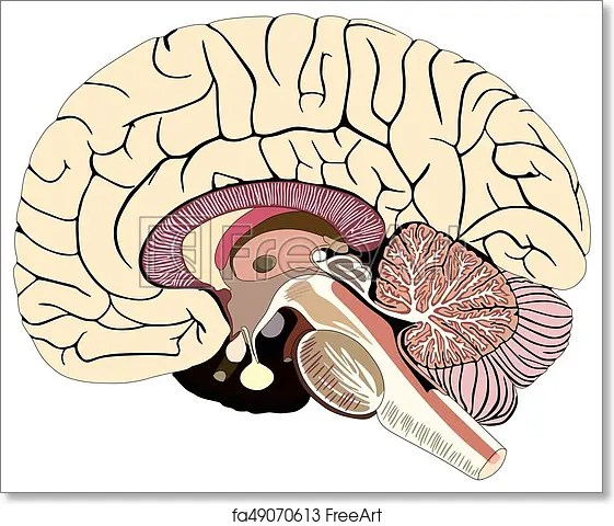 brain diagram pons ez go mpt 1000 48 volt wiring free art print of median section human anatomical structure unlabeled chart with all parts cerebellum thalamus