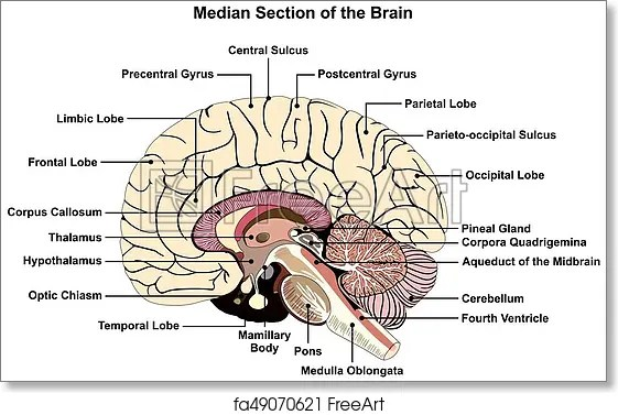 brain diagram pons 2006 dodge ram infinity radio wiring free art print of median section human anatomical structure infographic chart with all parts cerebellum thalamus hypothalamus lobes central sulcus medulla