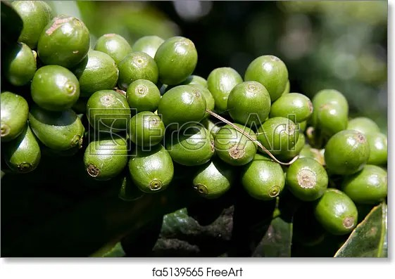 Free Art Print Of Coffee Bean Plant Raw Green Coffee Beans On Plant Freeart Fa5139565