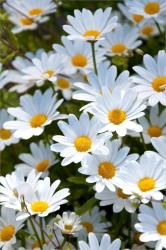 iphone backgrounds daisies background