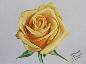 rose drawing yellow drawings draw realistic