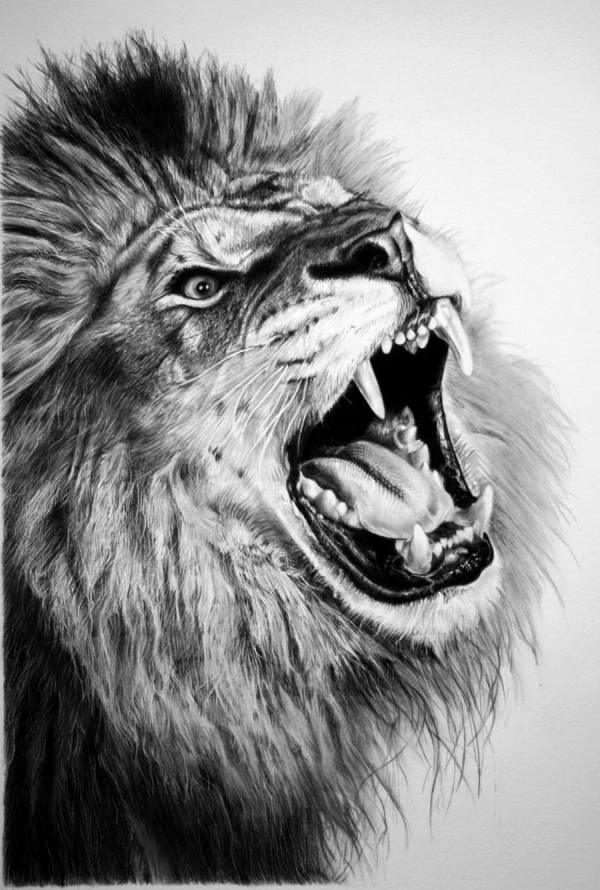 Lion Drawings Pencil Sketches Freecreatives