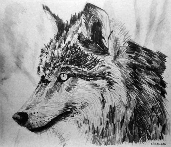 Wolf Drawings Pencil Sketches Freecreatives