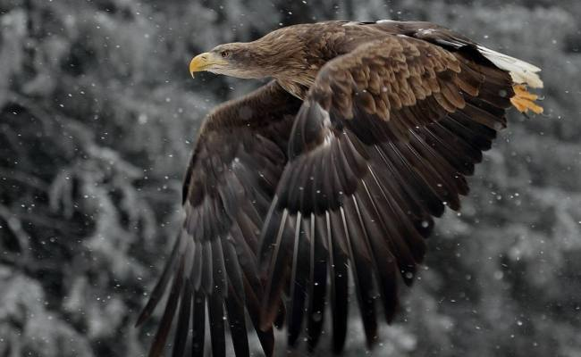 20 Eagle Wallpapers Backgrounds Images Freecreatives