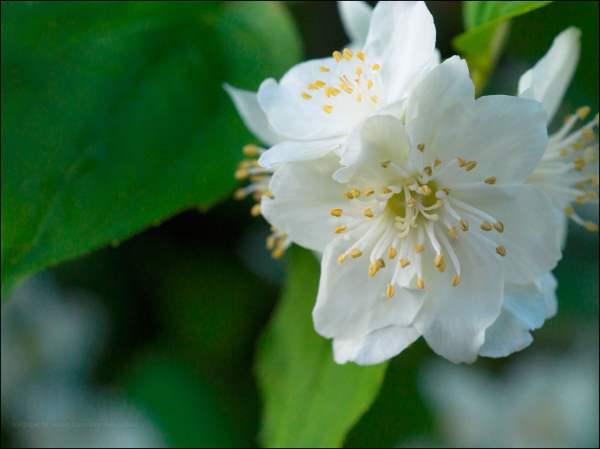 21 Jasmine Flower Wallpapers Backgrounds Images