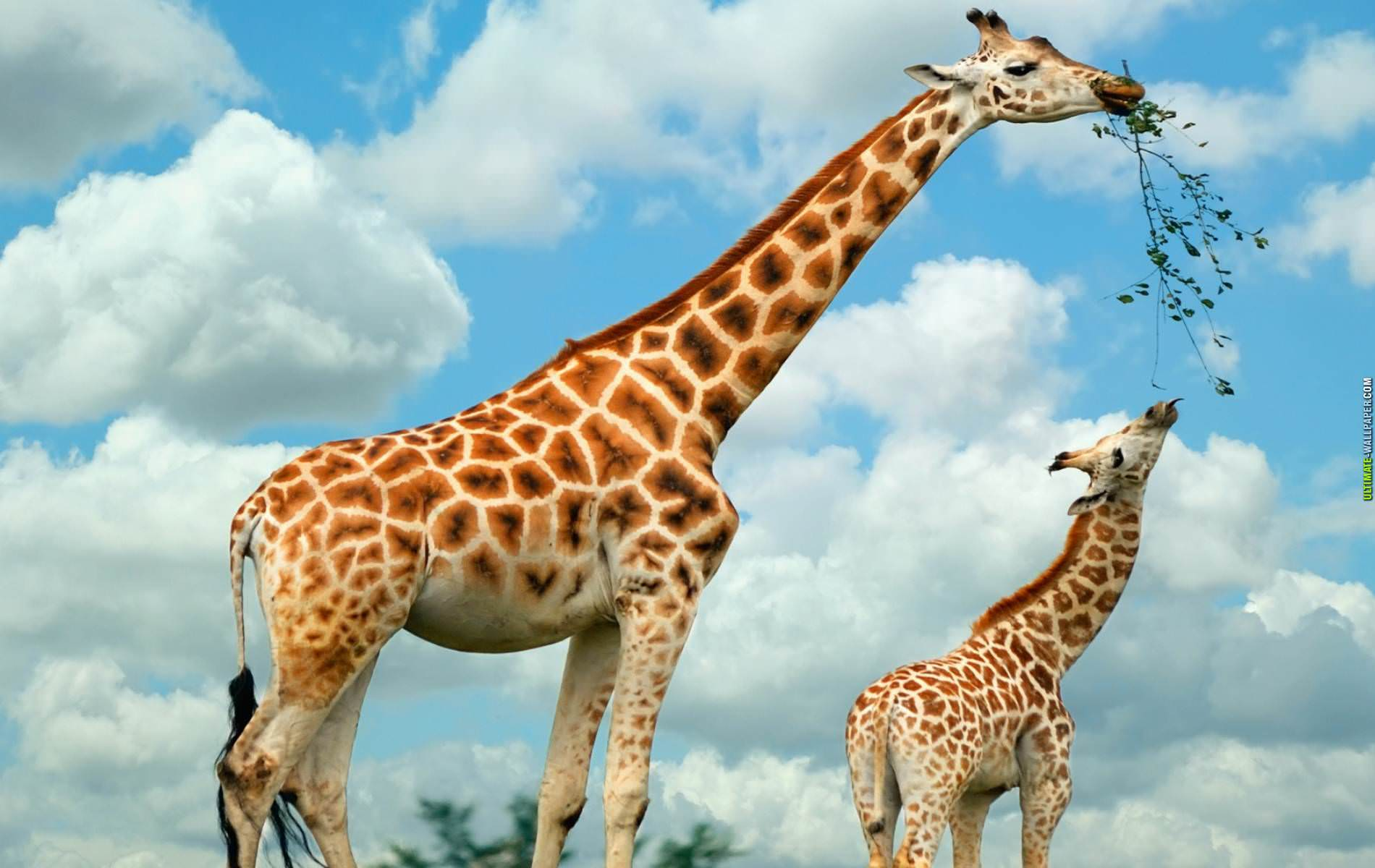 Cute Mother And Baby Wallpapers 21 Giraffe Wallpapers Backgrounds Images Freecreatives