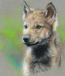 wolf baby drawing drawings cool colors