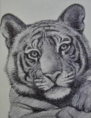 tiger drawing drawings simple