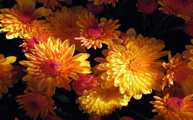 Beautiful Cute Roses Wallpapers Hd Beautiful Mums Wallpaper Download Free 95828