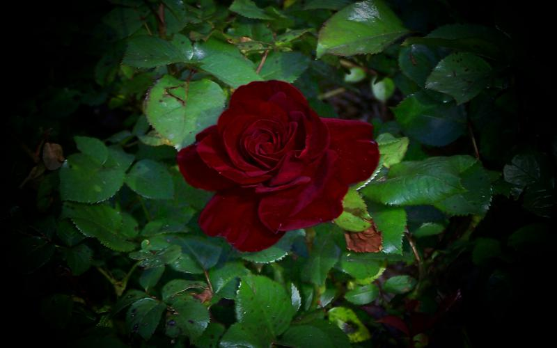 Cute Pink Girl Wallpaper Hd Blood Red Rose Wallpaper Download Free 102136