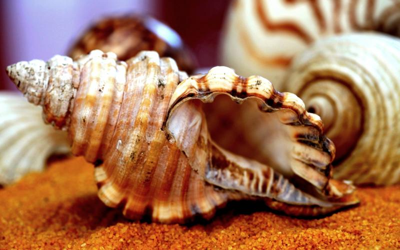Cute Baby Ultra Hd Wallpapers Hd Sea Shell Wallpaper Download Free 90183