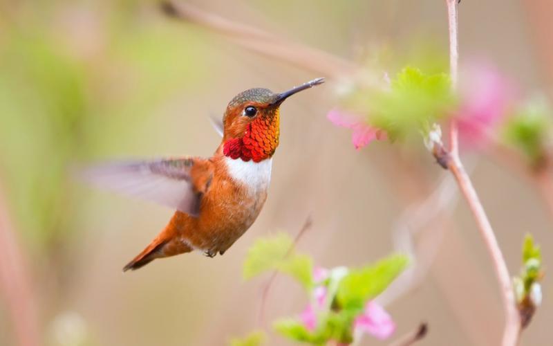 HD Beautiful Orange Red Hummingbird Wallpaper Download